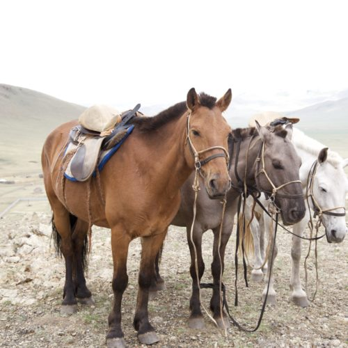 Mongolia horses