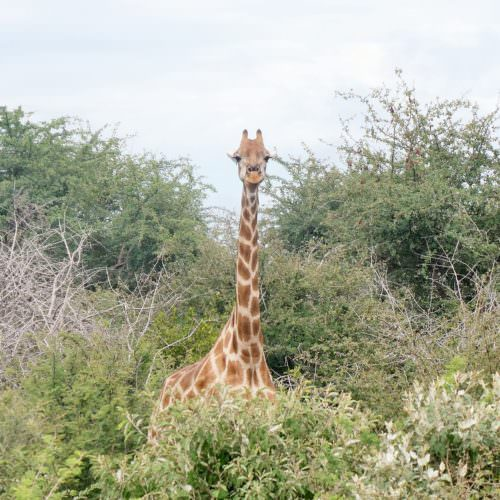 Spotting giraffe