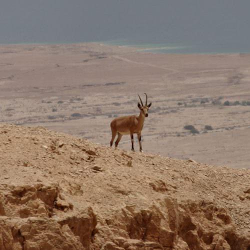 Israel desert wildlife