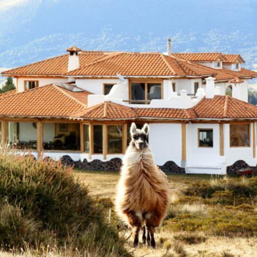 Llama in Cotopaxi