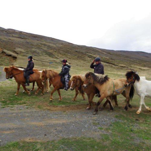 Iceland leading horses