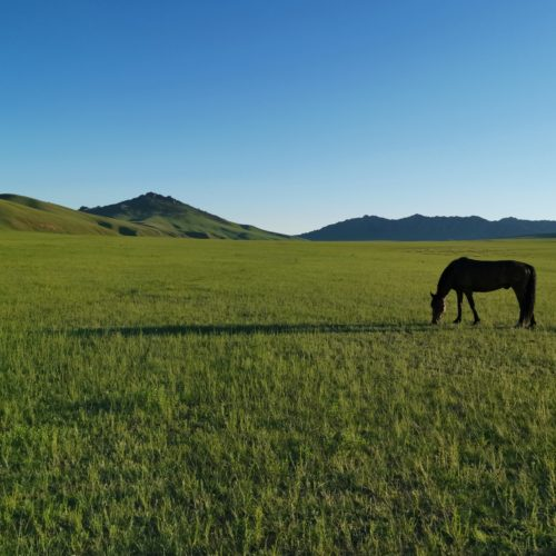 Horse grazing in Mongolia