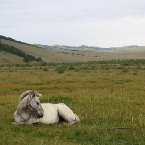 Mongolia horse sleeping