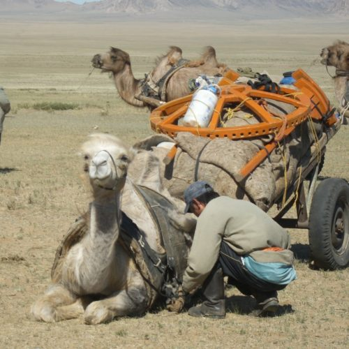 Mongolia camel cart