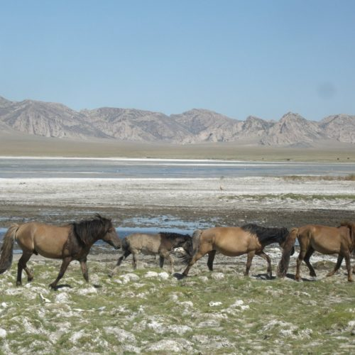 Mongolia steppes horses
