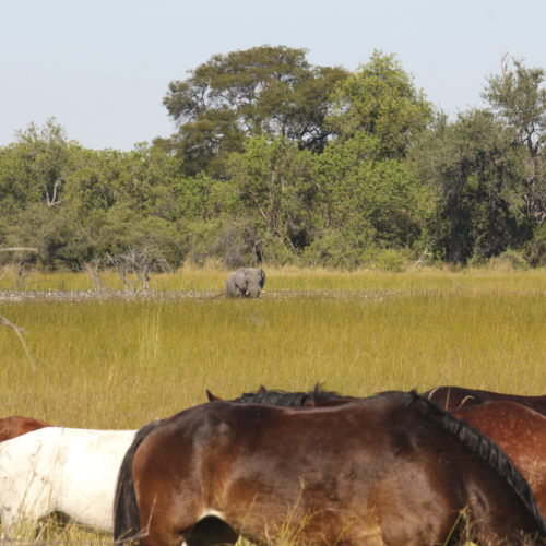 Mobile horseback safari in the Okavango Delta, Botswana. Horses and elephant.