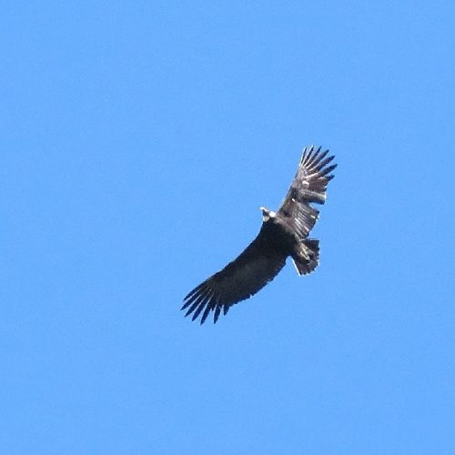Chilean condor
