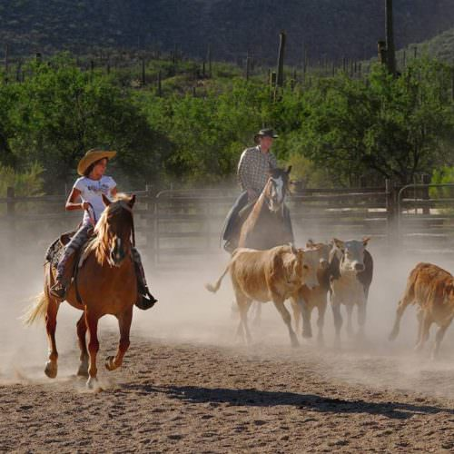 Team penning at Tanque Verde. Guests learning cowboy skills in Arizona.
