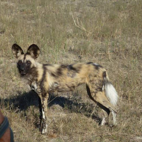 Riding Safari at Motswiri Camp, Okavango Delta, Botswana. Wild dog.