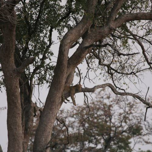 Riding Safari at Motswiri Camp, Okavango Delta, Botswana. Leopard in the trees.