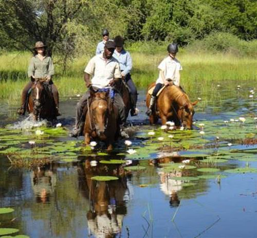 Mobile horseback safari in the Okavango Delta, Botswana. Horses in the water. Water lillies flowering.