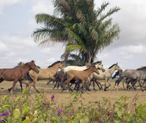 Riding Holidays in the Amazon Delta. Adventurous trips on horseback in Brazil. Horses galloping.