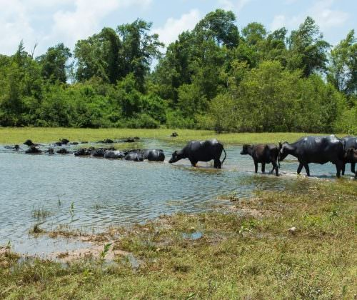 Riding Holidays in the Amazon Delta. Adventurous trips on horseback in Brazil. Water Buffalo.