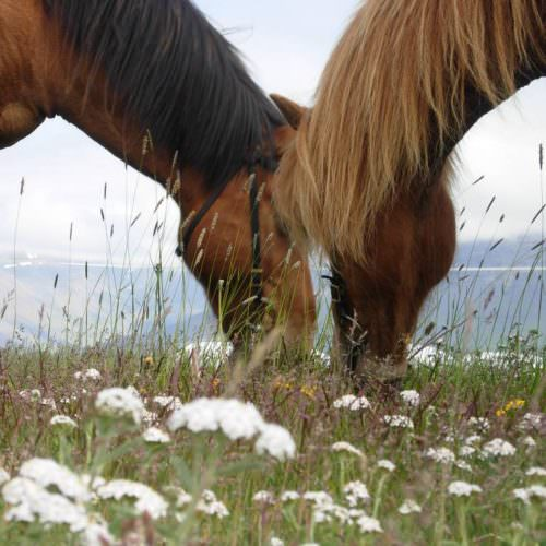 Iceland horses grazing