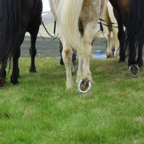 Iceland horseshoe