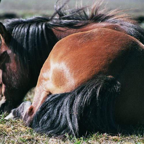 Iceland horse sleeping