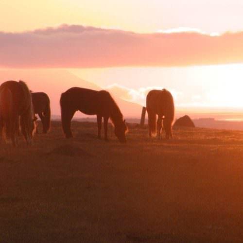 Iceland sunset horses