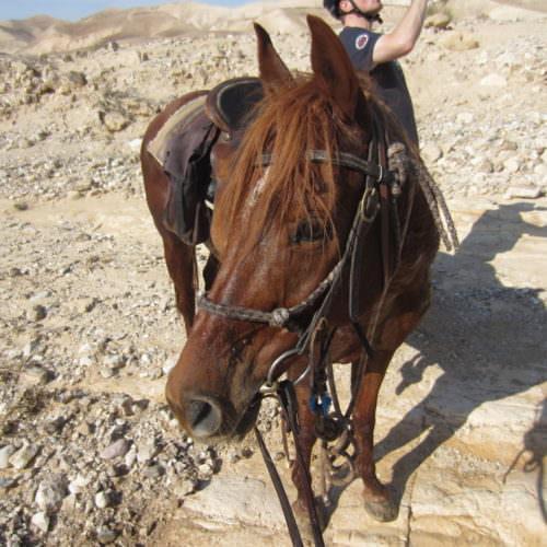 Israel horse