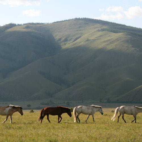 Mongolia horses grazing