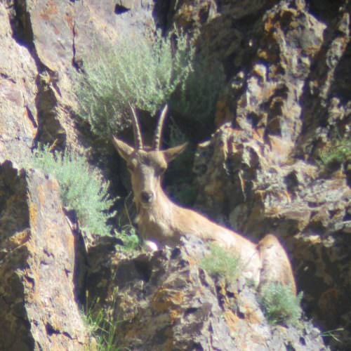 Mongolia Siberian Ibex