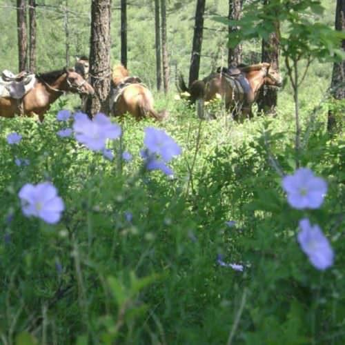Mongolia flowers
