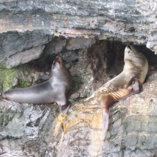 Sealions in Chile