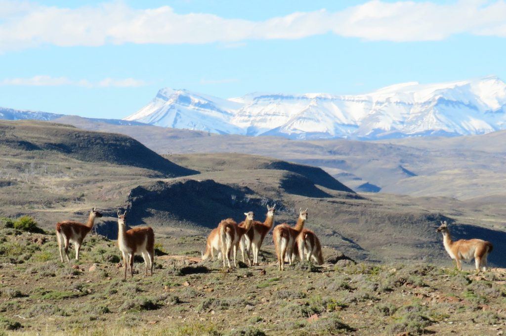 Chilean guanacos