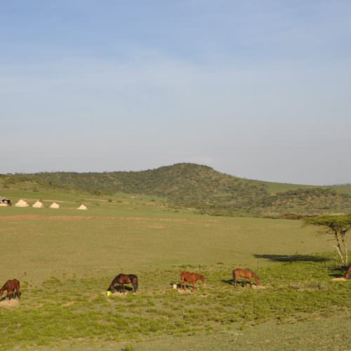 Horses camping