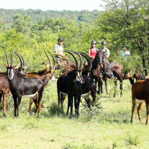 Sabel antilope