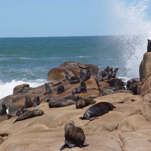 Uruguay sealions. Beach riding holidays in Uruguay with In The Saddle.
