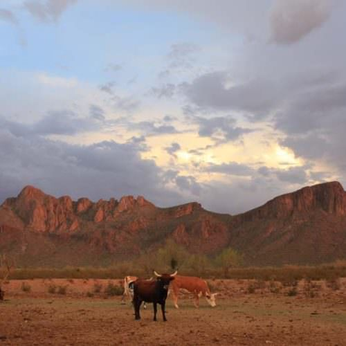 View from White Stallion Ranch. Cattle grazing