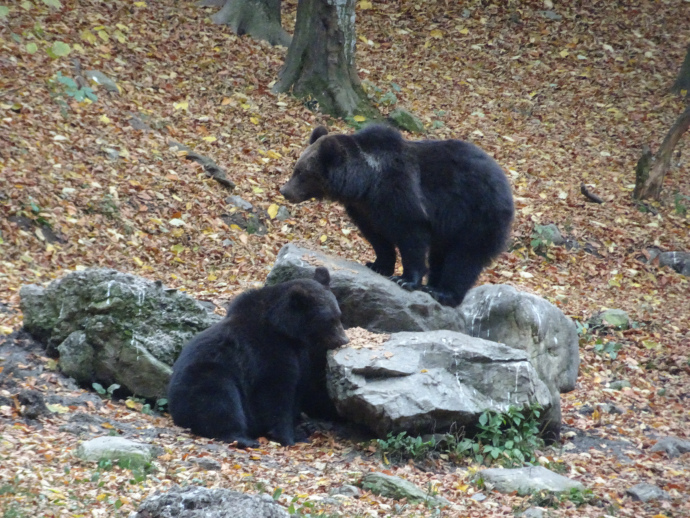 bears in romania