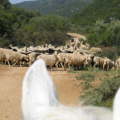 Trail riding holiday in Crete. Lassithi Plateau. Horses and sheep