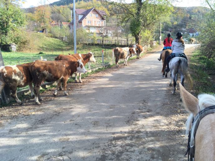 cattle in romania