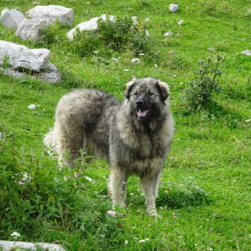 Dog in Croatia