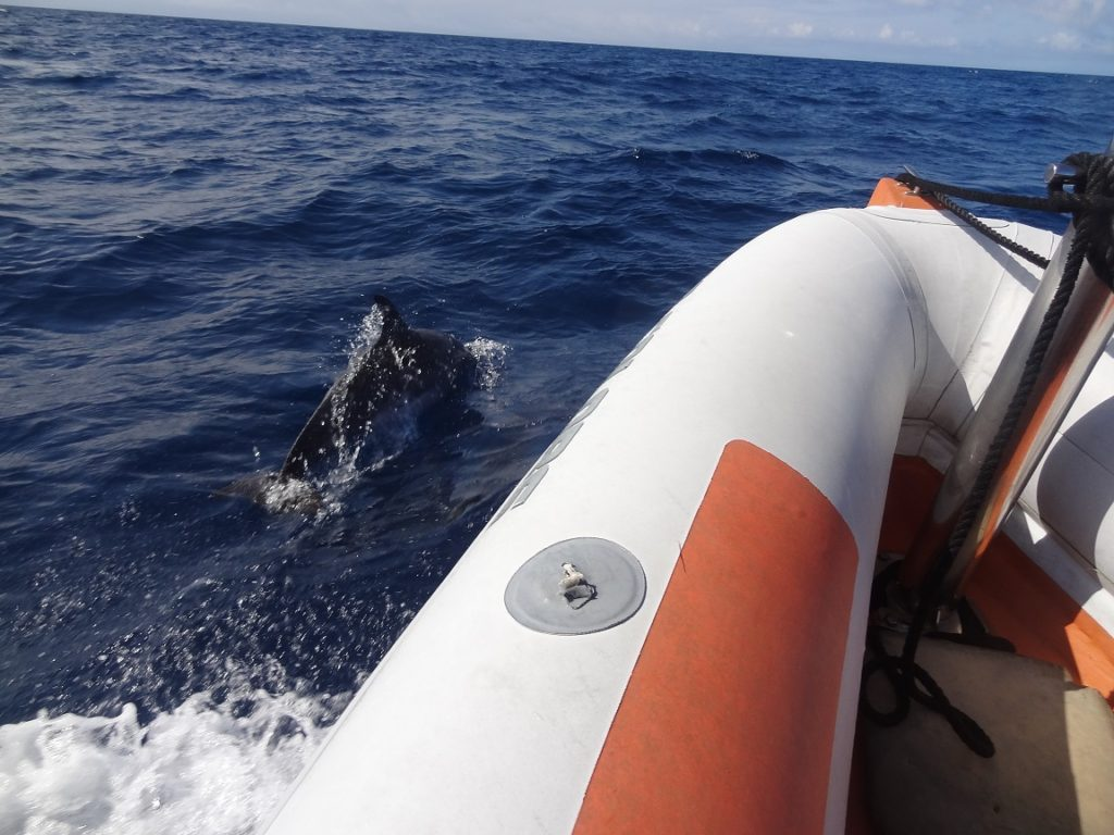 azores, dolphins and whales