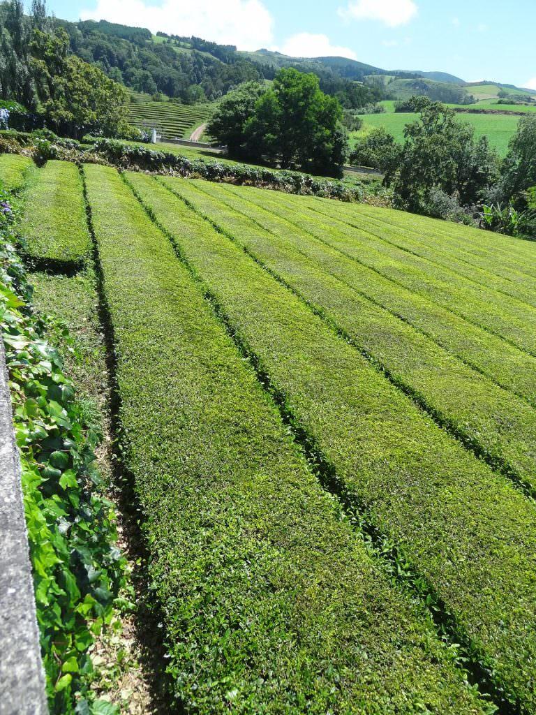 azores, tea plantation