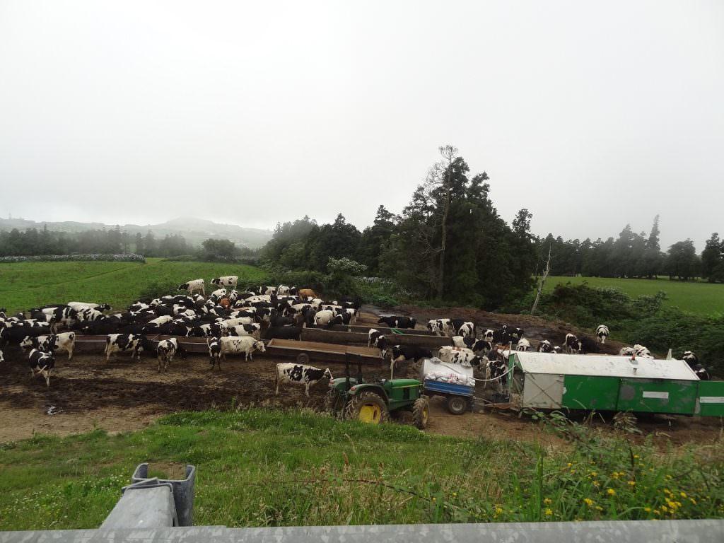 Cows, Azores, riding