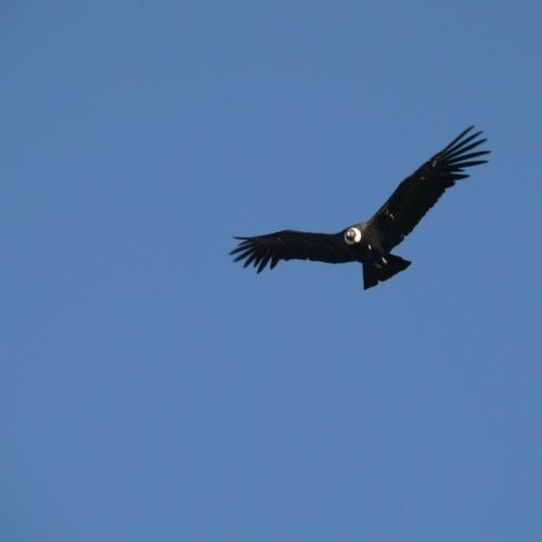 Argentina condor
