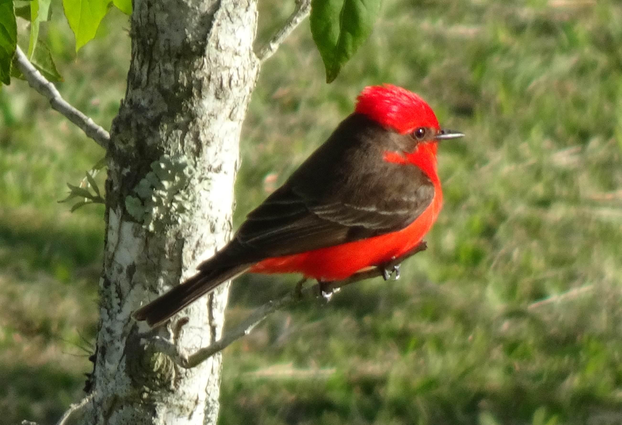 Red bird in Uruguay