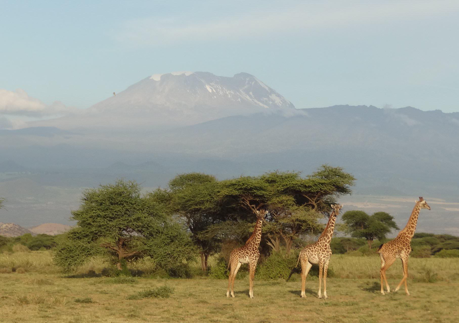 Journey of giraffe Mt Kilimanjaro