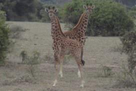 Young giraffe in Tanzania