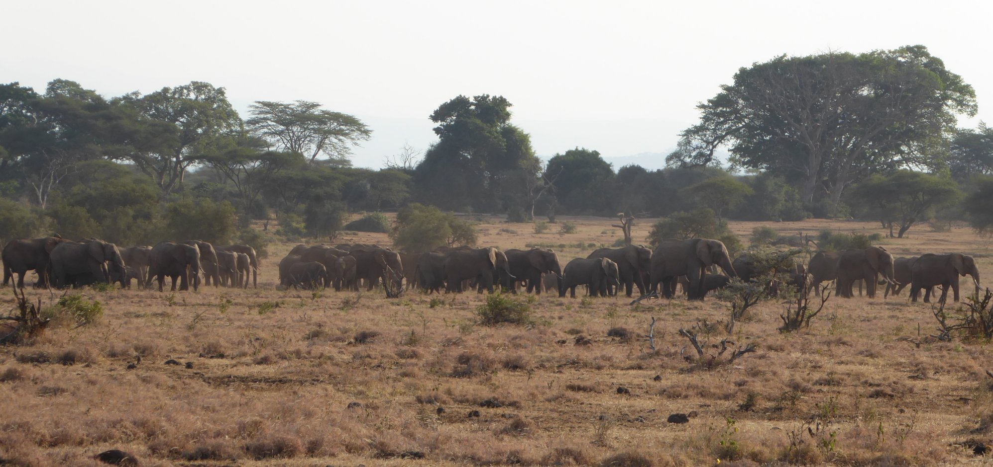 Herd of ele in Tanzania