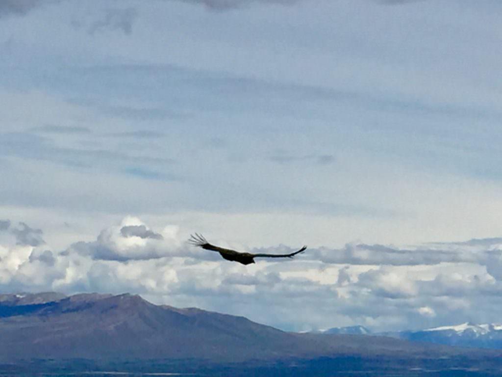 Chilean condors